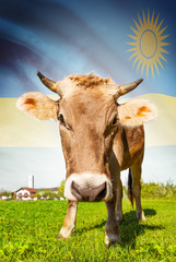 Cow with flag on background series - Rwanda