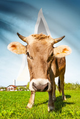 Cow with flag on background series - Saint Lucia