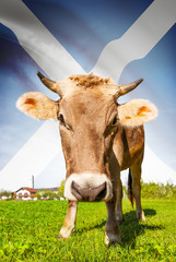 Cow with flag on background series - Scotland