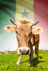 Cow with flag on background series - Senegal