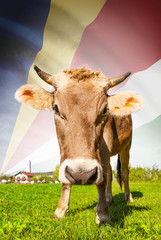 Cow with flag on background series - Seychelles