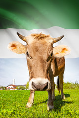 Cow with flag on background series - Sierra Leone
