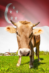 Cow with flag on background series - Singapore