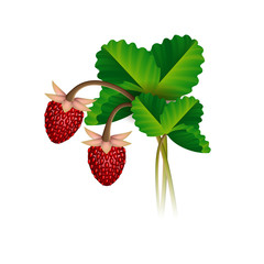 Wild strawberry berries and leafs
