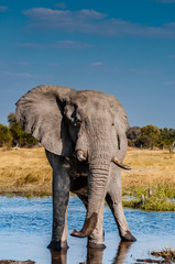 Elephant at Water