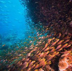 Shoal or school of tropical fish