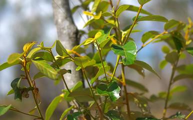Foliage of Australian Red Ash Alphitonia excelsa