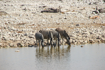 Zebras am Wasserreservoir