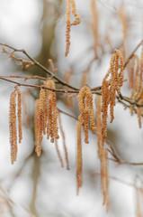 Blütenkätzchen am Haselstrauch, Pollenflug, Vorfrühling