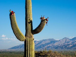 Blooming saguaro cactus at sunrise