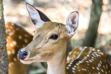 young sika spotted deer