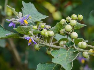 Solanum indicum  L.
