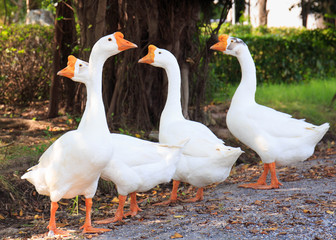 White Embden domestic geese