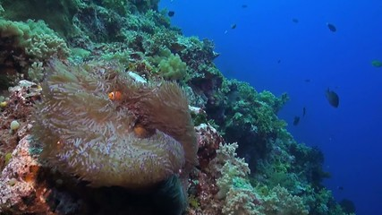 Clownfish on a sloping reef