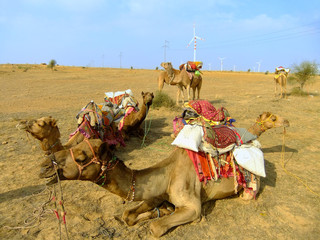 Camels resting during camel safari, Thar desert, India