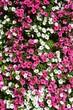 canvas print picture - Fleurs roses et blanches