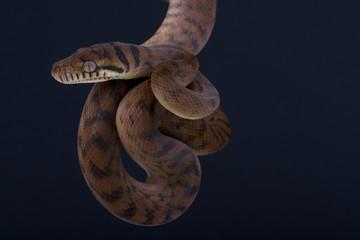 Scrub python / Morelia amthestina