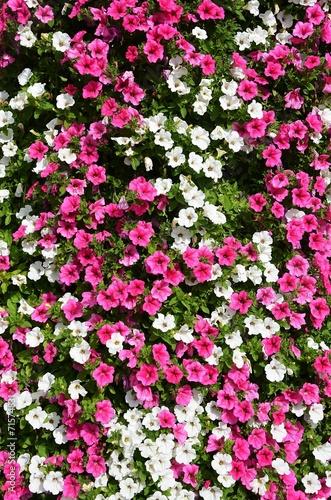 canvas print picture Fleurs roses et blanches