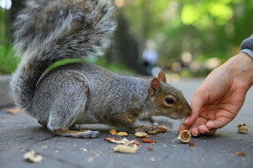Curious squirrel with nut in Central Park, New York City