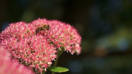 Stonecrop flower with a bee