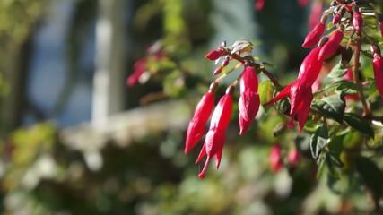 Blume Onagraceae im Wind