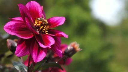 Eine Biene sammelt Nektar von Dahlia Blume
