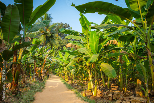Keuken foto achterwand Palm boom Rural landscape common road through banana plantation in India