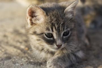 beautiful little gray kitten closeup