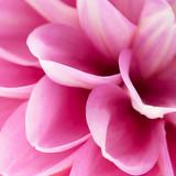 Fototapeta Pink dahlia close-up