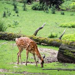 One Fallow deer is grazing