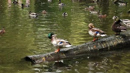 Enten auf Baumstamm