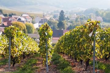 Wineyard in France in sunny september day.