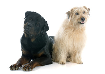 rottweiler and pyrenean shepherd
