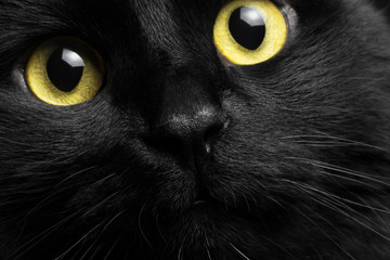 Closeup portrait black cat