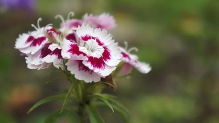 Hibiscus Blume im Wind