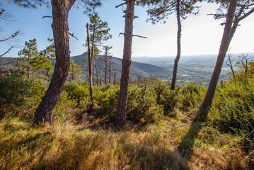 Paesaggio di colline Toscana, bosco di Pini, conifere