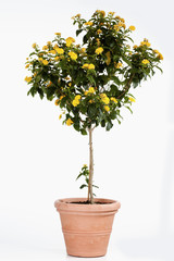 Wandelröschen (Lantana), gelb, Stamm, weisser Hintergrund