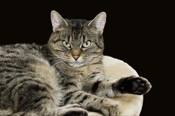 Grau schwarz getigerte Hauskatze liegend