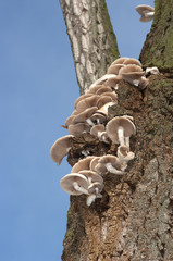 mushrooms growing at tree (Agrocybe cylindracea )