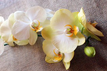 branch of a blossoming yellow orchid on sacking