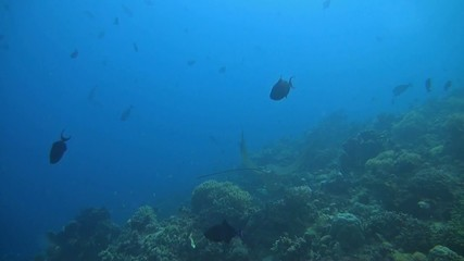 Eagle ray on a coral reef