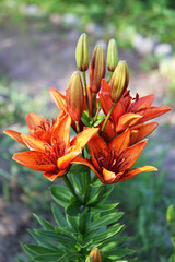 Flowers and buds of the red garden lilies