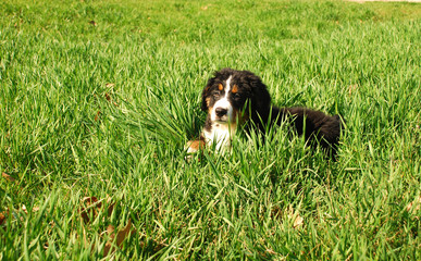 Щенок бернского зенненхунда на зеленой лужайке