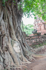 Buddha head in the tree, at Ayutthaya.Thailand.