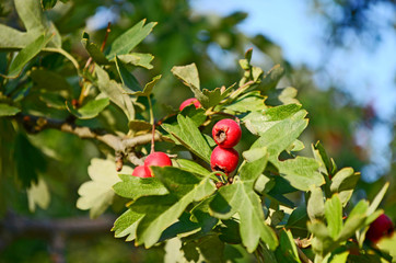 Hawthorn berries growing on branch