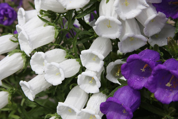 Blue and white flowers of the giant bell,
