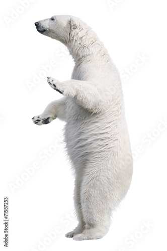 In de dag Ijsbeer White polar bear stand. Isolated on white background