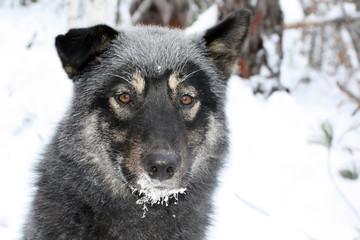 Siberian hunting dog Laika, Irkutsk region, Siberia,