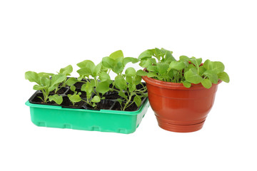 Seedlings in a box.