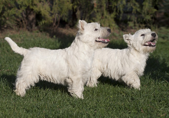 Cute westie puppies looking